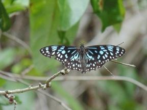 ButterflyBlue 02